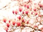 Springtime Cherry Blossoms by Vivienne Gucwa