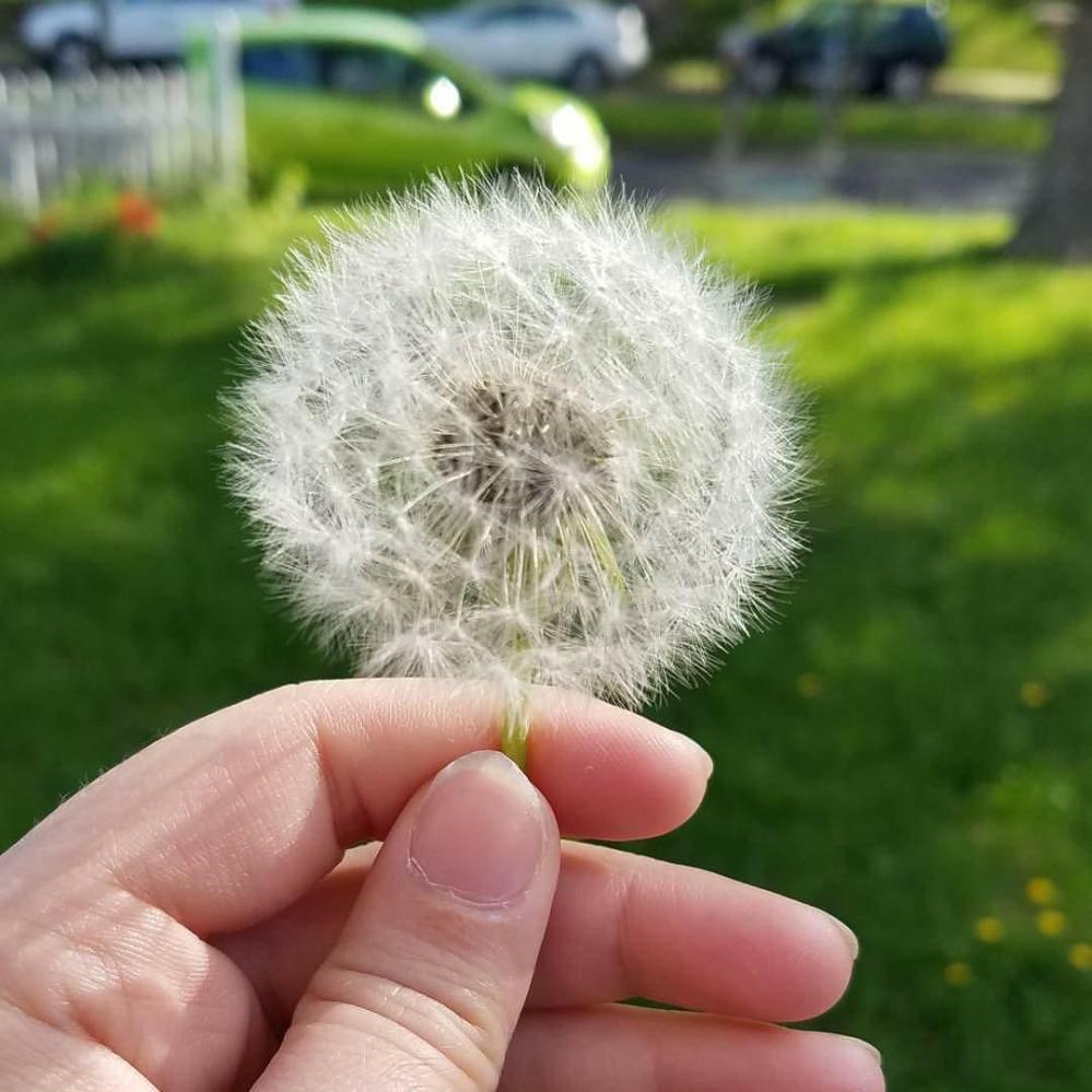 Wishing On A Dandelion